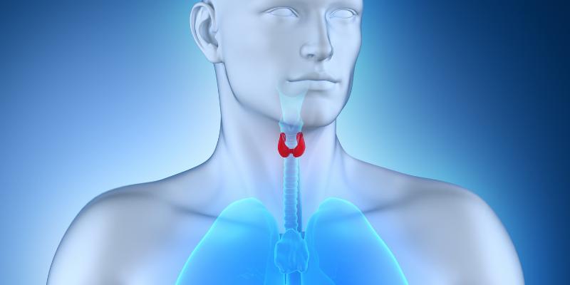 ¿Dónde se encuentra la glándula tiroides y qué tan grande es?